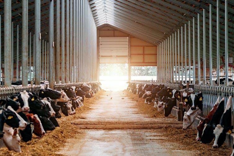 Vaches en cage dans une ferme laitière.
